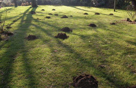 A cluster of mole mounds