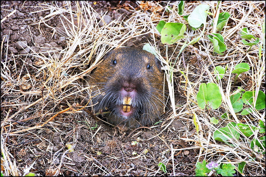 A gopher sticks its yellow teeth out of the ground.